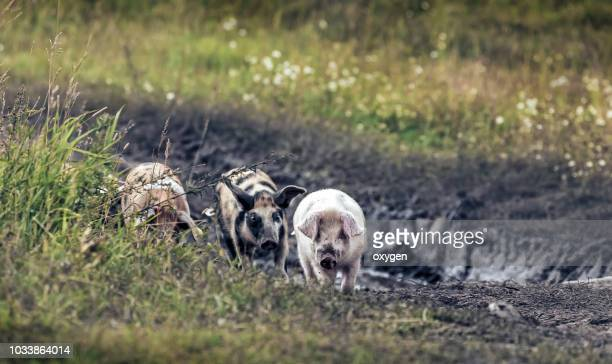 group of pig walking through the village - pig in shit stock pictures, royalty-free photos & images