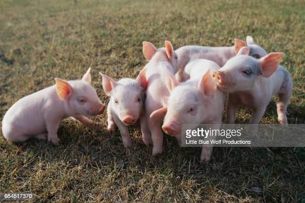 Group of Piglets Playing