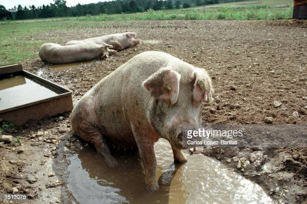 A group of pigs as yet unaffected by Swine Fever wallow in the mud August 20 2000 at Manor Farm in Brettenham in Norfolk United Kingdom The disease...