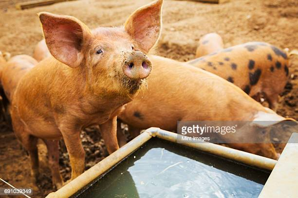 a group of pigs stood around a trough. - pigs trough stock pictures, royalty-free photos & images