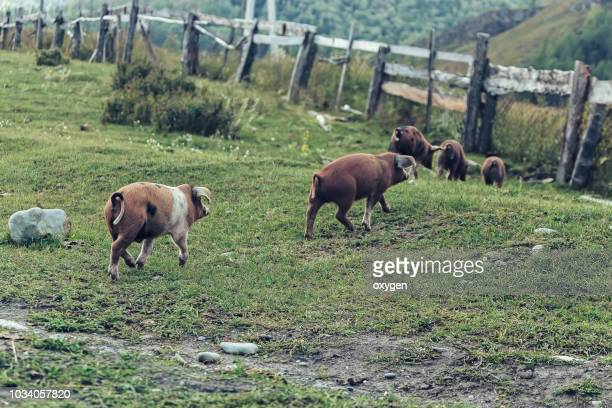 group of pigs walking through the village - pig in shit stock pictures, royalty-free photos & images