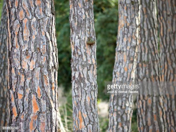 Group of pine tree trunks in the forest.