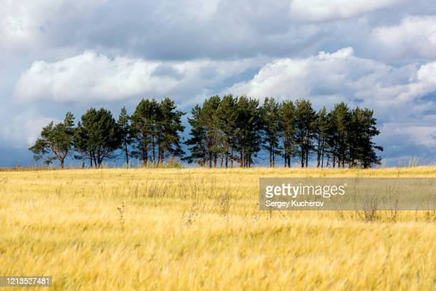 group of pines in a rye field against a dramatic sky - ivraie photos et images de collection