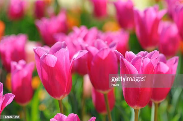 group of pink tulips - flower show stock photos and pictures