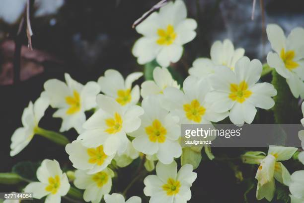 Group of primroses