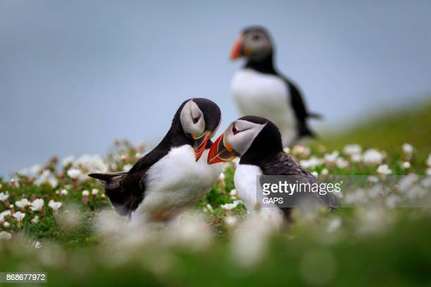 group of puffins - wildlife reserve stock pictures, royalty-free photos & images