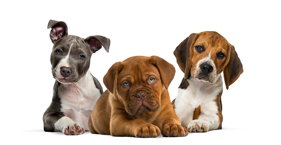 Group of puppies lying against white background 944107108