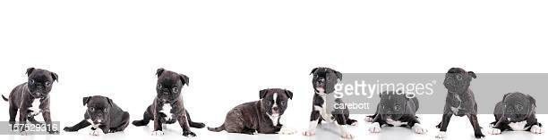 Group Of Puppies On White Background