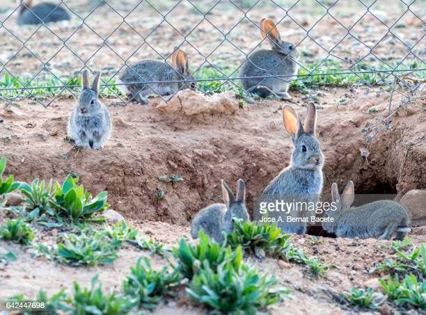 group of rabbits going out of his burrow close to a metallic fence, considered as plague. ( species oryctolagus cuniculus.) - pest stock photos and pictures