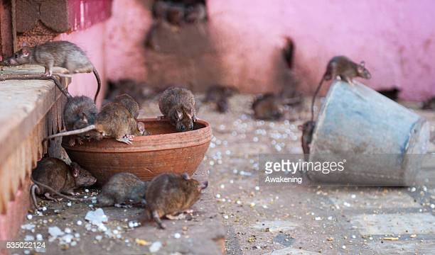 A group of rats eating food given by visitors