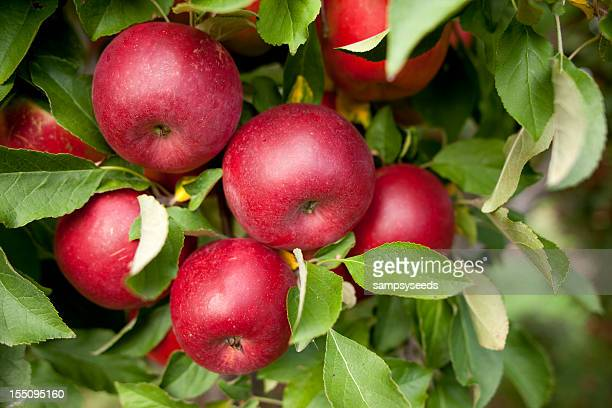 A group of red apples in a orchard