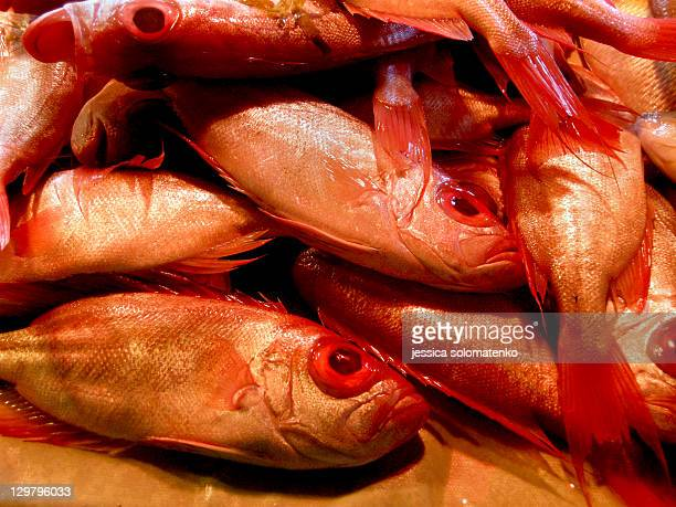 group of red bigeye squirrel fish - squirrel fish 個照片及圖片檔