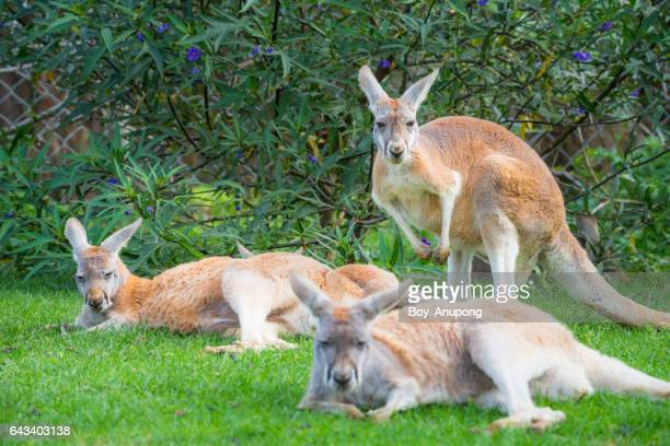 Group of Red Kangaroos in Phillip Island conservation area, Australia.