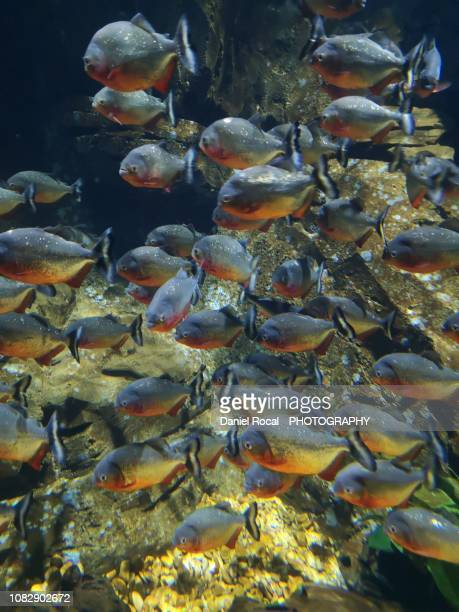 group of red pirañas (guaraní fish) - piranha photos et images de collection
