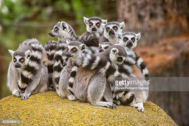 a group of ring-tailed lemurs on a rock - lemur stock pictures, royalty-free photos & images