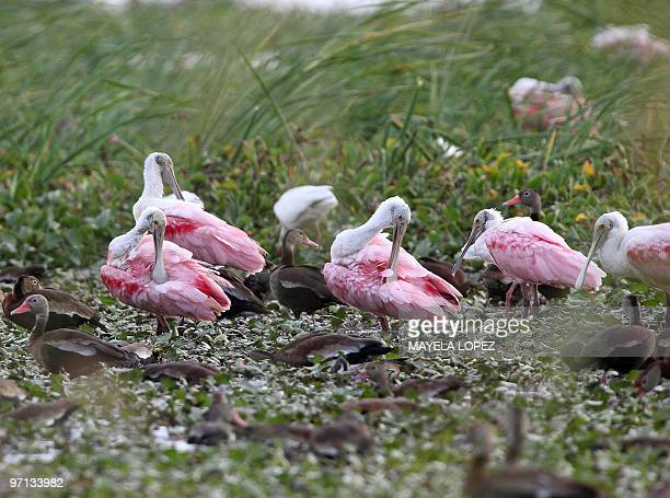 Group of Roseate Spoonbill and ducks lie on the wetland February 21, 2010 in the Palo Verde National Park, on the Guanacaste province, 240 north from...