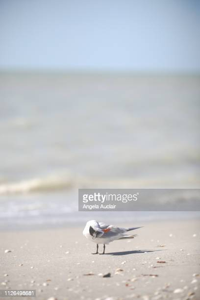 Group of Royal Terns on a Sanibel Island Beach