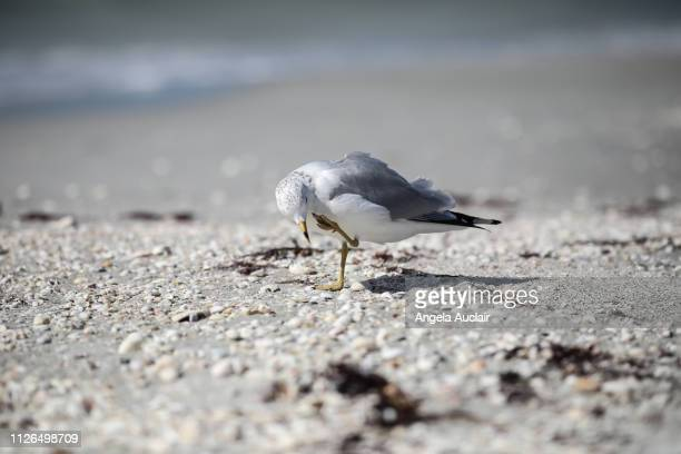 group of royal terns on a sanibel island beach - red tide stock pictures, royalty-free photos & images