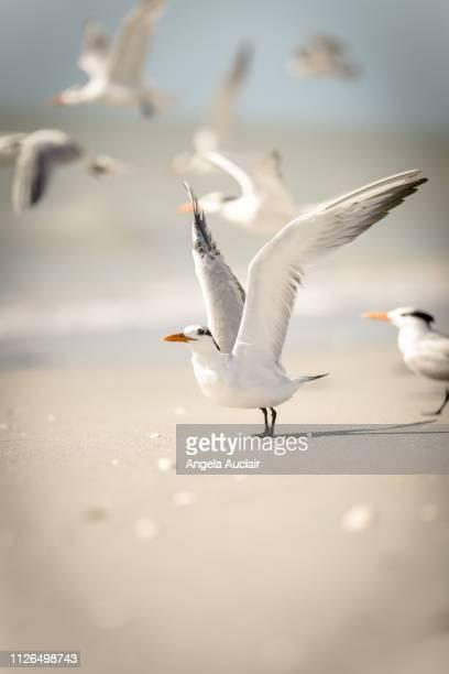 Group of Royal Terns on a Sanibel Island Beach
