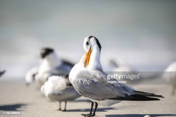 group of royal terns on a sanibel island beach - red_tide stock pictures, royalty-free photos & images