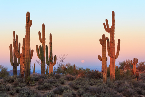 Group of saguaro cacti at sunrise 511059196