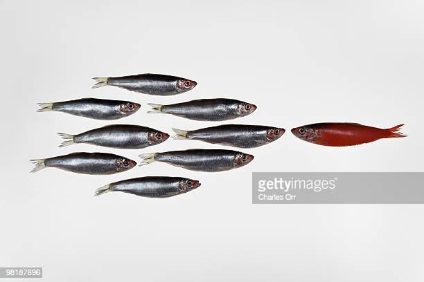 Group of sardines facing a single sardine painted red