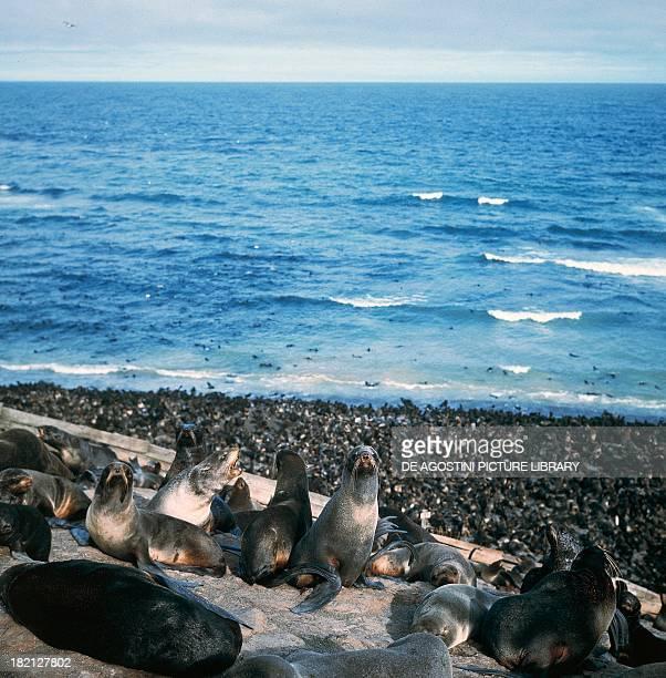 Group of sea otters , Mustelids, Tjulenin, Sakhalin Island, Sea of Okhotsk, Russia.