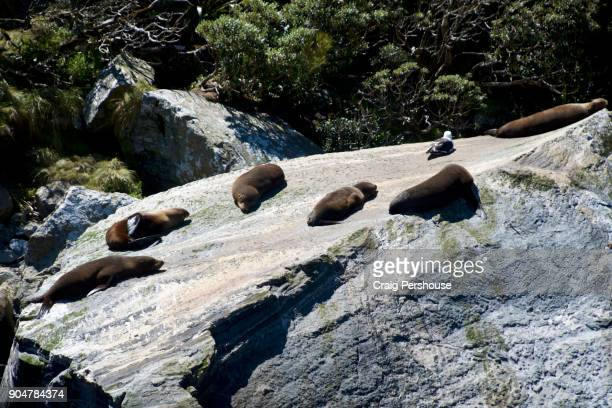 Group of seals and seagull basking in the sun on a rock by Milford Sound.