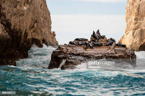 group of seals in pelican rock - seal beach stock pictures, royalty-free photos & images