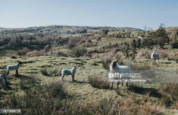a group of sheep and lambs in a sunny field - moving after stock pictures, royalty-free photos & images