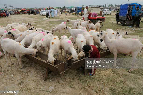 A group of Sheep are fed at a livestock market Eidgah area ahead of the Muslim Festival of Eid alAdha on August 17 2018 in Srinagar India