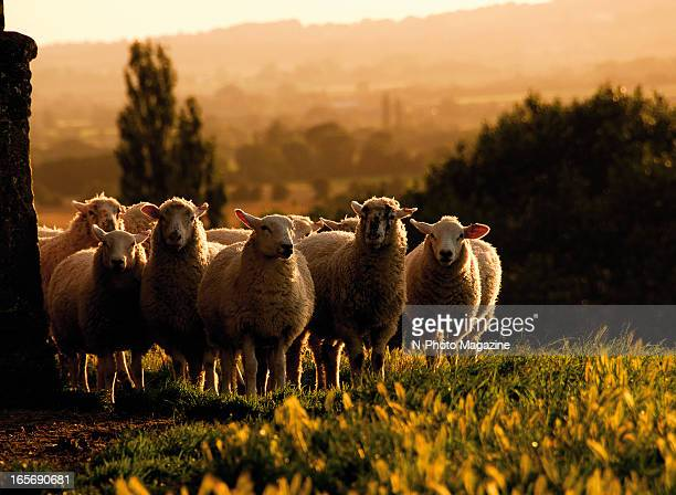 Group of sheep standing in the evening sunlight, photographed during a shoot for N-Photo Magazine/Future via Getty Images, August 20, 2012.