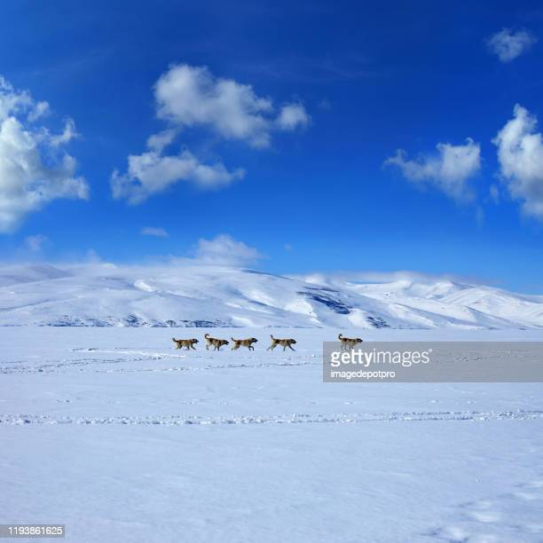 group of sheepdogs running in snow - anatolia stock pictures, royalty-free photos & images
