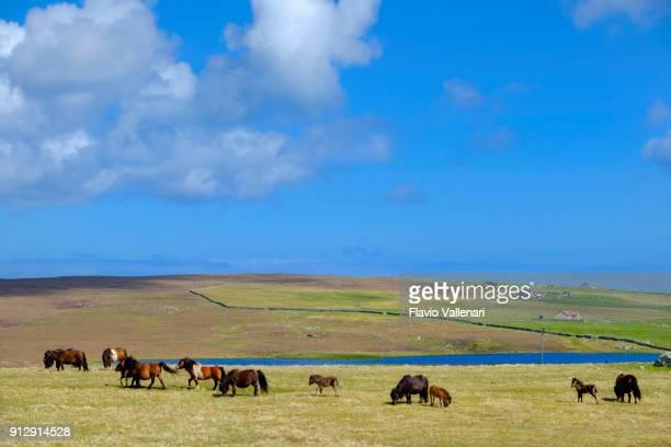 group of shetland ponies, a breed of pony originating in the shetland islands, scotland. - isole shetland foto e immagini stock