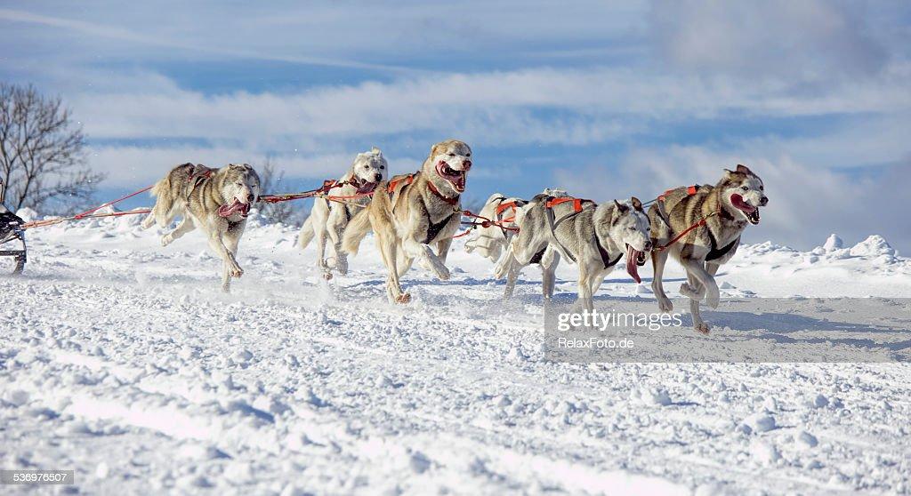 Gruppe von Sibirischer husky Schlitten Hunde Laufen im Schnee : Stock-Foto