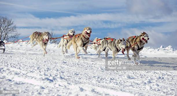 Group of Siberian husky sled dogs running in snow