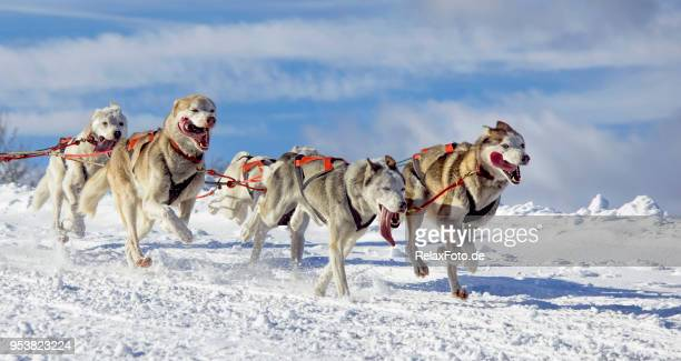 Group of sled dogs (Siberian Huskies) running in snow