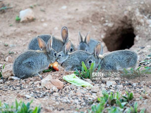 Group of small rabbits eating and playing close to his burrow ( Species Oryctolagus cuniculus.)