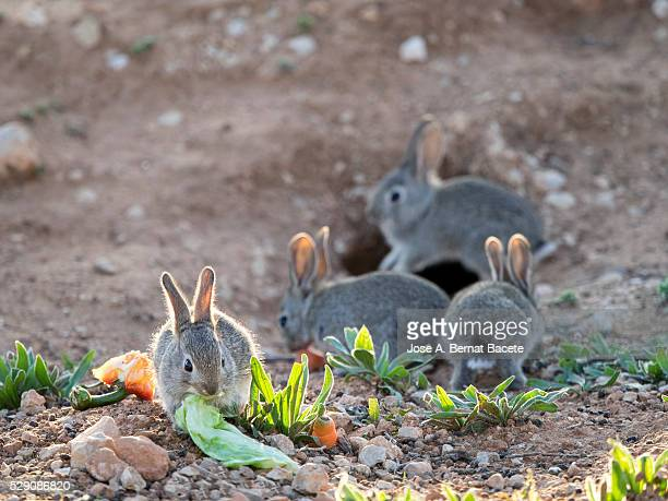 group of small rabbits eating and playing close to his burrow ( species oryctolagus cuniculus.) - exotic_species stock pictures, royalty-free photos & images