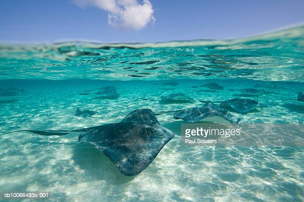 Group of Southern Stingrays (Dasyatis americana) swimming in shallow water, surface level view