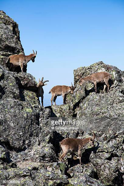 Group of Spanish Ibex (Capra pyrenaica hispanica) on top on mountain ridge