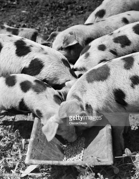 Group Of Spotted Pigs On Either Side Of Trough Feeding On Pellets