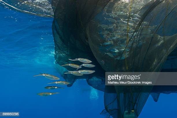 Group of squids in formation near fishing net.