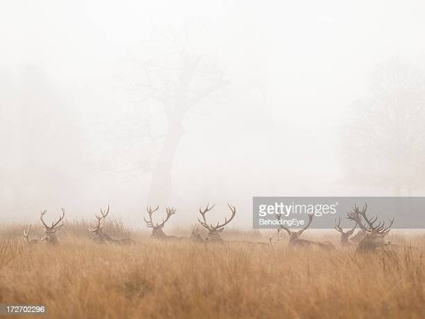 Group of Stag Deer Resting in Foggy Park