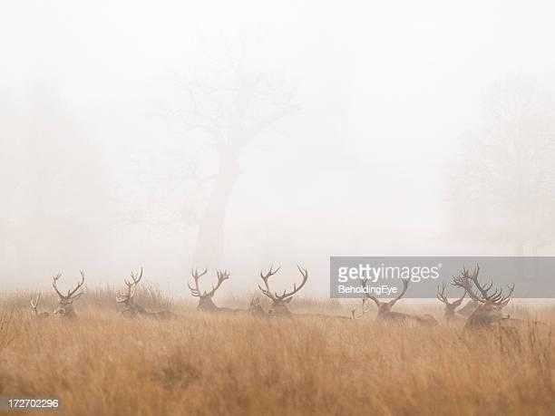 Gruppe von Hirsch Hirsch ruhen in Foggy Park