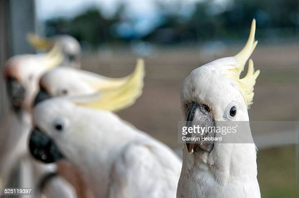 Group of sulphur crested cockatoos