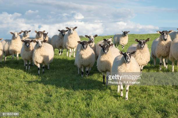 group of swaledale sheep in a field in north yorkshire. - ovino foto e immagini stock