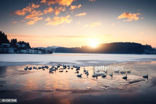 group of swans in frozen lake - duck bird stock pictures, royalty-free photos & images