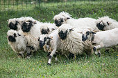 A Group of Swiss Black Nose, Face Sheep
