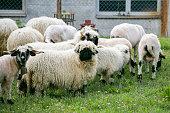 Group of Swiss Black Sheep
